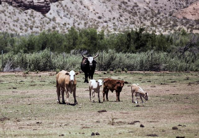 Cattle belonging to the  Bundy Ranch is seen near the Virgin River on Thursday, May 19, 2016. (Jeff Scheid/Las Vegas Review-Journal) Follow @jlscheid