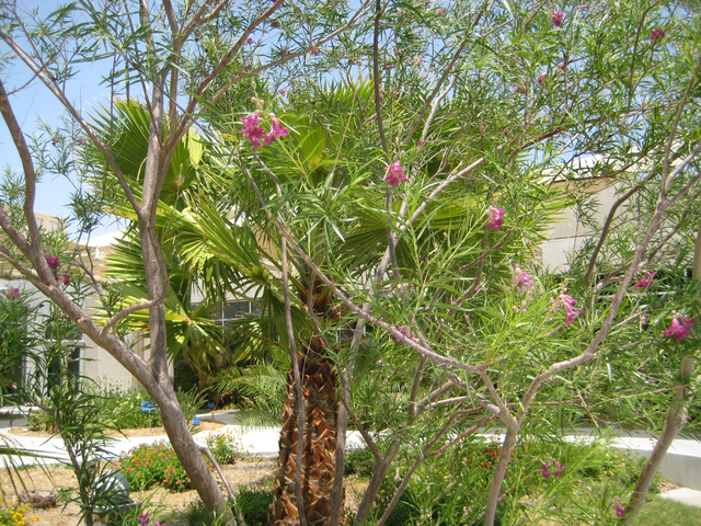 COURTESY MARILYN MING The desert willow is a popular and hardy tree for a desert landscape.