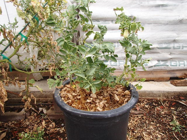COURTESY To promote new growth, tomato plants are reduced in size about three to four weeks before the arrival of cooler temperatures in the mid-90s. This would place cutting them back around the  ...