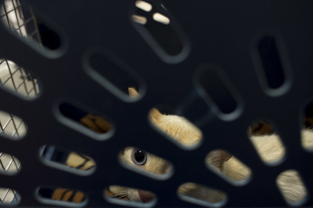 The male cat peeks though the holes of his carrier at Pebble Maryland Animal Hospital, on Thursday, July 7, 2016, in Las Vegas. The cat was rescued from a flood channel and is receiving help in hi ...