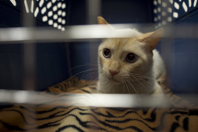A cat that was rescued from a flood channel is receiving help in his recovery by employees at Pebble Maryland Animal Hospital, pictured Thursday, July 7, 2016, in Las Vegas. (Bridget Bennett/Las V ...