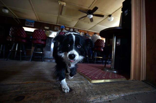 Lady, a boarder collie dog, is seen wandering the floor at the Manhattan Bar Thursday, June 9, 2016, in Manhattan, Nev. The old-time and dog friendly bar has served its customers for decades in th ...
