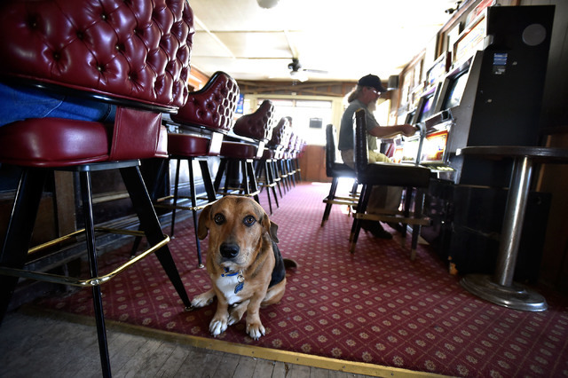 Roscoe sits behind his owner at the Manhattan Bar Thursday, June 9, 2016, in Manhattan, Nev. The old-time and dog friendly bar has served customers for decades in the high desert mountain mining c ...