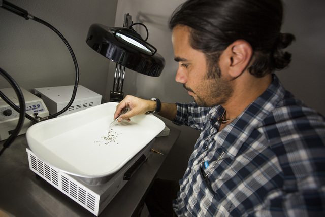 Vivek Raman, Environmental Health Supervisor at the Southern Nevada Health District, sorts mosquitoes in the lab on Monday, May 2, 2016. (Jeff Scheid/Las Vegas Review-Journal) Follow @jlscheid