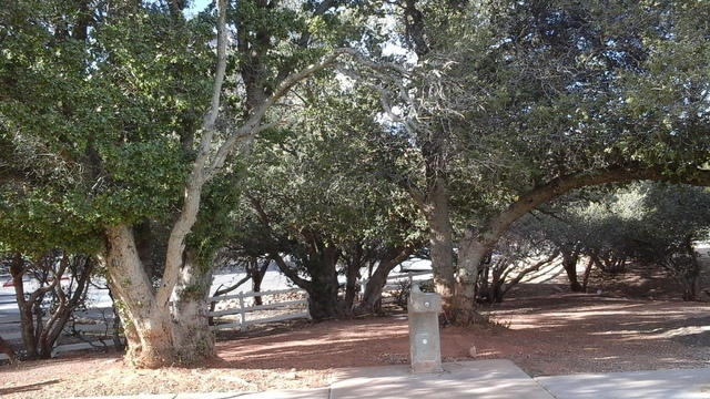 This stand of turbinella oaks at Spring Valley Ranch State Park outside Las Vegas contains the largest try of its kind in the state and perhaps the nation, according to the Nevada Big Tree Registe ...