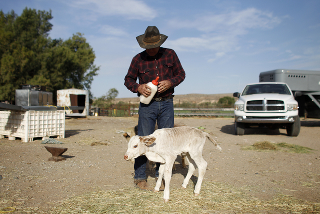 Cliven Bundy feeds a calf at his ranch near Bunkerville, Nev. Friday, April 13, 2012. Bundy had to deliver the calf by a C-section when the calf's mother was injured and had to be put down. (John  ...