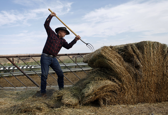 Cliven Bundy moves hay to feed cattle at his ranch near Bunkerville, Nev. Friday, April 13, 2012. (John Locher/Las Vegas Review-Journal)