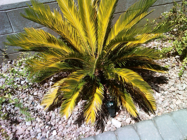 Sago palm yellowing