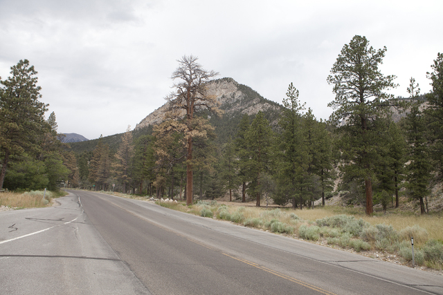 Ponderosa pine trees are shown on Mount Charleston Tuesday, June 28, 2016. Long-time Mount Charleston resident and activist Tom Padden said the trees may be dying as a result of salt used on the r ...