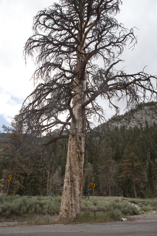 Ponderosa pine tree is shown on Mount Charleston Tuesday, June 28, 2016.  Long-time Mount Charleston resident and activist Tom Padden said the tree may be dying as a result of salt used on the roa ...