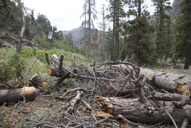 Ponderosa pine trees are shown on Mount Charleston Tuesday, June 28, 2016. Mount Charleston resident and activist Tom Padden said trees may be dying as a result of salt used on the roads to melt i ...