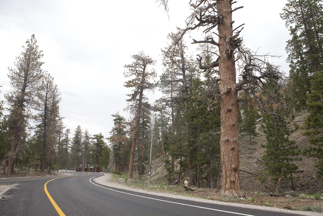 Ponderosa pine trees are shown on Mount Charleston Tuesday, June 28, 2016.  Long-time Mount Charleston resident and activist Tom Padden said the trees may be dying as a result of salt used on the  ...