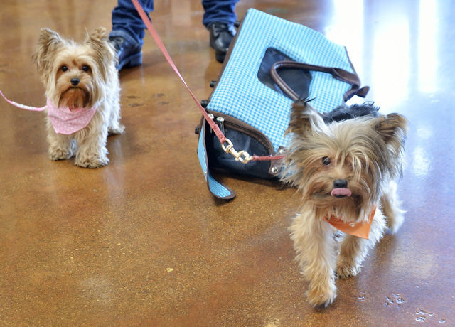 Amber, left, and Maximilian are shown at Red Rock Harley Davidson at 2260 Rainbow Blvd. on Tuesday, July 26, 2016. Their owner, Lolita Baltierra, was there to greet a film crew from documentary an ...