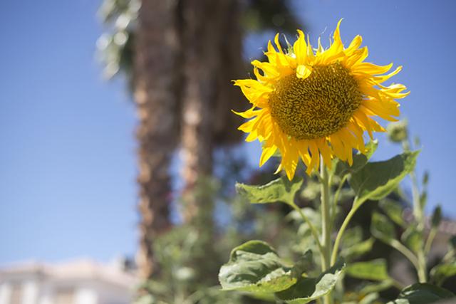 A sunflower droops away from the sun in Henderson on Friday, June 17, 2016. (Daniel Clark/Las Vegas Review-Journal Follow @DanJClarkPhoto)