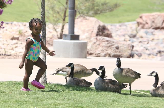 Botanist Amare, 3, runs past Canada geese at Potosi Park on July 11, 2016, in North Las Vegas. (Bizuayehu Tesfaye/Las Vegas Review-Journal Follow @bizutesfaye)