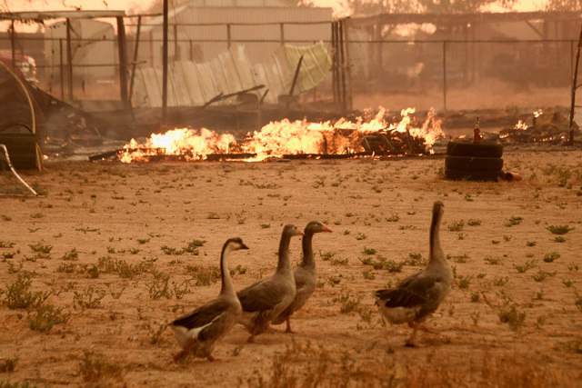 Geese walk past a chicken coop that burned with animals inside (not pictured) at the so-called Bluecut Fire in the San Bernardino National Forest in San Bernardino County, California, U.S. August  ...