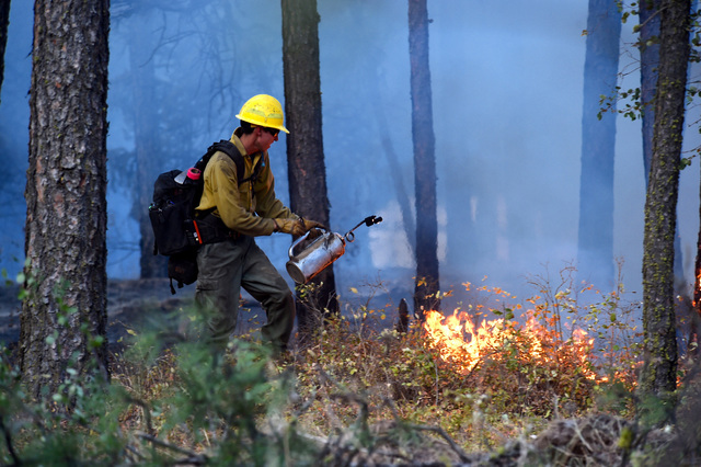 In the aftermath of the fire started by a downed power line that spread about 6 miles northeast of Spangle, Wash. , firefighters sent a back up burn to get rid of fuels on the ground, Sunday, Aug. ...