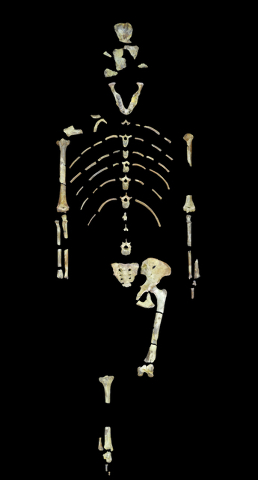 This undated image provided by the University of Texas at Austin shows the skeleton of Lucy, a fossil specimen of an early human ancestor, Australopithecus afarensis. (University of Texas at Austi ...