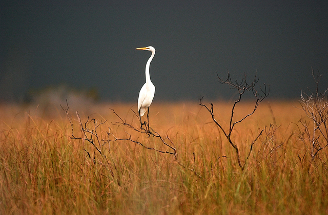 In this Jan. 14, 2005 , file photo, a great egret sits on top of a dead tree in Florida's Everglades National Park, near South Bay, Fla.,  as a thunderstorm moves across the area. Everglades Natio ...