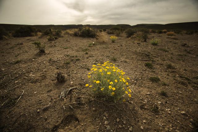 Desert poppy is seen Wednesday, May 20, 2015, near the White River Narrows area, about 130 miles north of Las Vegas.  (Jeff Scheid/Las Vegas Review-Journal) Follow Jeff Scheid on Twitter @jlscheid