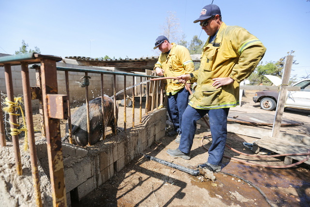 San Bernardino County firefighters Kirk McKay, right, and Jesse Vazquez water down a pig on the property of the Chavez family in Oak Hills, Calif., on Saturday, Aug. 20, 2016.  (Brett Le Blanc/Las ...