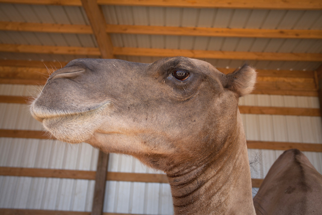 A camel is shown at the Camel Safari in Mesquite, Nev. on Wednesday, June 27, 2016. Loren Townsley/Las Vegas Review-Journal Follow @lorentownsley