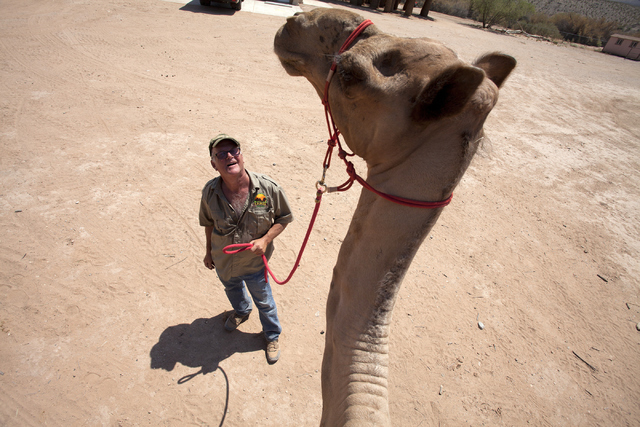 Guy Seeklus, the owner of Camel Safari, interacts with a camel at his place in Mesquite, Nev. on Wednesday, June 27, 2016. Loren Townsley/Las Vegas Review-Journal Follow @lorentownsley