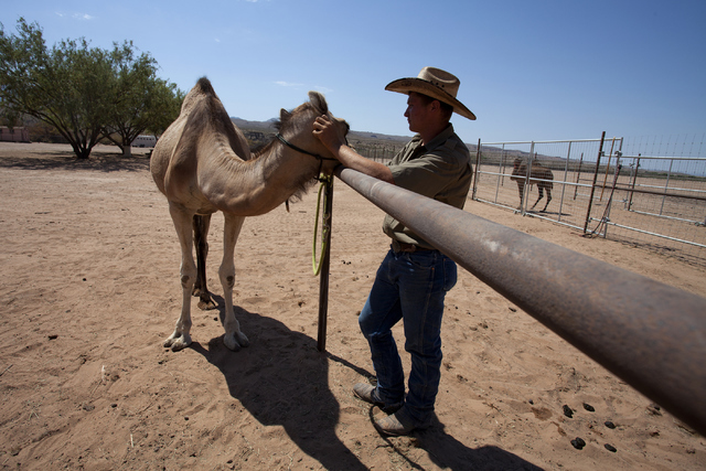 Camel Safari employee Nathan Witter interacts with a camel at the camel farm in Mesquite, Nev. on Wednesday, June 27, 2016. Loren Townsley/Las Vegas Review-Journal Follow @lorentownsley