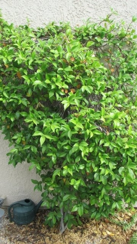 COURTESY Star jasmine can handle full sun if it's planted in good soil.