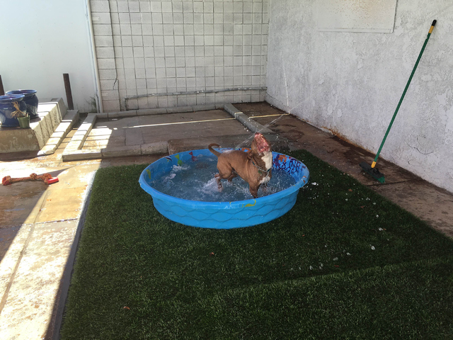 A dog plays in a pool at A Home 4 Spot's facility in downtown Las Vegas.The volunteer-based organization provides foster care and medicine, while seeking permanent homes for abandoned dogs. Sandy  ...