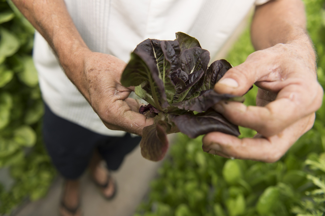 Tom Blount shows his harvest at his hydroponic greenhouse in Henderson July 20. Jason Ogulnik/View