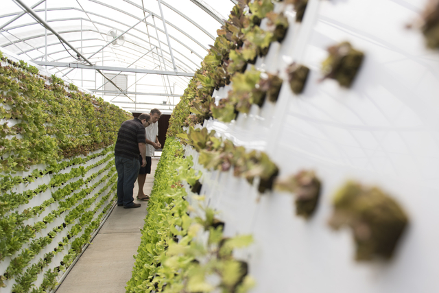 Brett Uniss, executive chef at B&B Ristorante, left, and Tom Blount browse for ingredients at Blount's hydroponic greenhouse in Henderson July 20. Jason Ogulnik/View