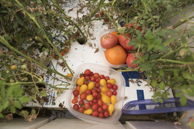 Freshly harvested tomatoes are seen at Tom Blount's hydroponic greenhouse in Henderson July 20. Jason Ogulnik/View
