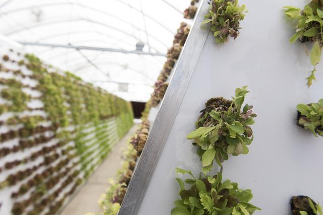 Tom Blount's hydroponic greenhouse in Henderson is seen July 20. Jason Ogulnik/View