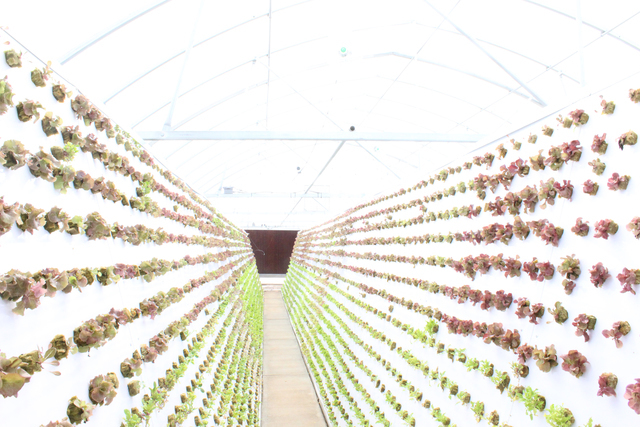 A variety of vegetables are seen inside the hydroponic greenhouse in Henderson. Michael Lyle/ View