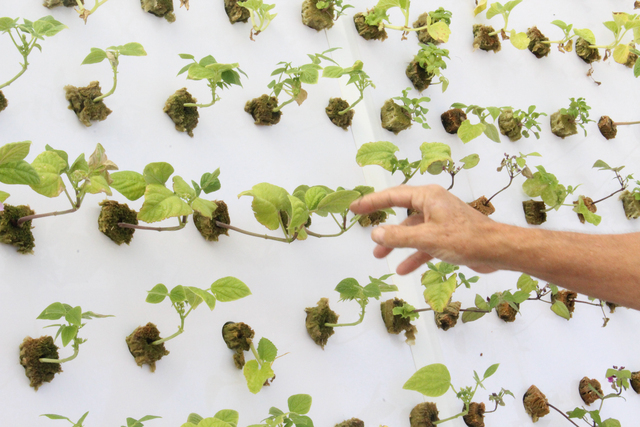 Tom Blount is growing a variety of lettuce inside his hydroponic greenhouse in Henderson. Michael Lyle/ View