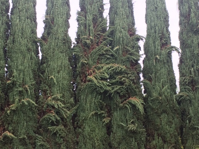 COURTESY Italian cypress branches can droop if the trees are watered too often.