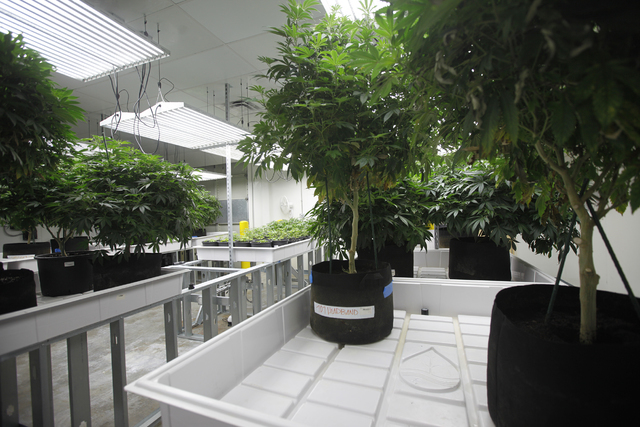 A room of marijuana plants at the Waveseer LLC marijuana facility in North Las Vegas' Apex Industrial Park Monday, March 21, 2016. (Rachel Aston/Las Vegas Review-Journal Follow @rookie__rae)