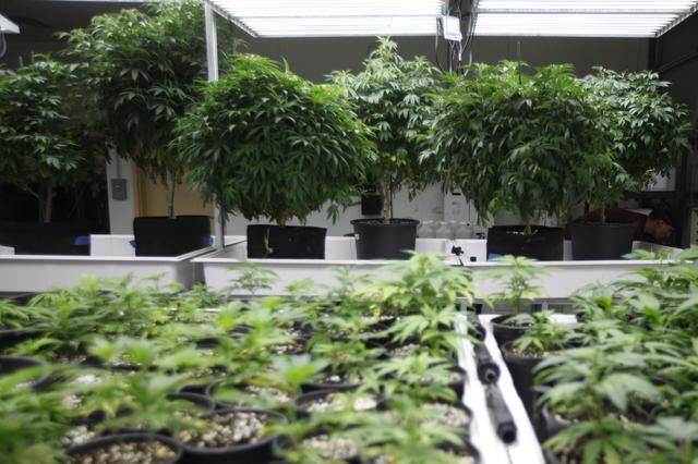 A room of marijauna plantsat the Waveseer LLC marijuana facility in North Las Vegas' Apex Industrial Park Monday, March 21, 2016. ()Rachel Aston/Las Vegas Review-Journal) Follow @rookie__rae