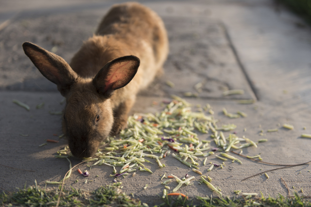 A rabbit eats mixed vegetables at Floyd Lamb Park at Tule Springs in Las Vegas Sunday, July 31, 2016. The park is one of several locations in the valley where domesticated rabbits are illegally du ...