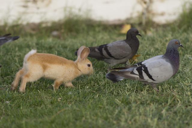 A rabbit roams with pigeons at Floyd Lamb Park at Tule Springs July 31. Jason Ogulnik/View