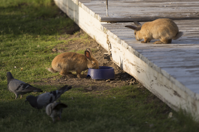 A rabbit drinks from a water bowl at Floyd Lamb Park at Tule Springs in Las Vegas Sunday, July 31, 2016. The park is one of several locations in the valley where domesticated rabbits are illegally ...