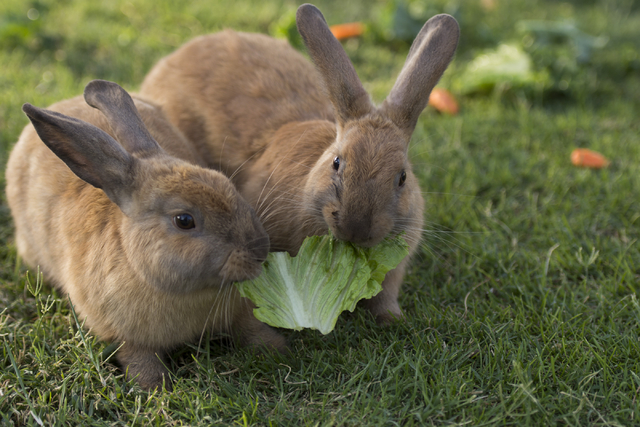 Rabbits share a piece of romaine lettuce at Floyd Lamb Park at Tule Springs July 31. The park is one of several locations in the valley where domesticated rabbits are illegally dumped. Jason Oguln ...