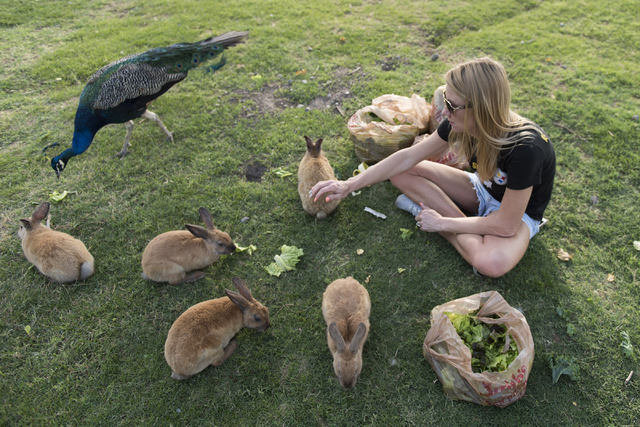 Rabbit activist Stacey Taylor feeds rabbits at Floyd Lamb Park at Tule Springs in northwest Las Vegas July 31, 2016. The park is one of several locations in the valley where domesticated rabbits a ...