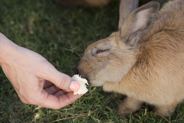Rabbit activist Stacey Taylor feeds banana to a rabbit at Floyd Lamb Park at Tule Springs July 31. Jason Ogulnik/View