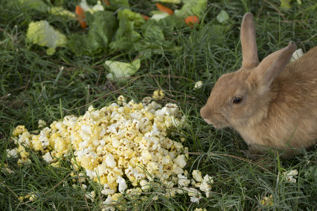 A rabbit investigates a pile of popcorn left by a park visitor at Floyd Lamb Park at Tule Springs in Las Vegas Sunday, July 31, 2016. Vegitables, shown above, were left by rabbit activist Stacey T ...