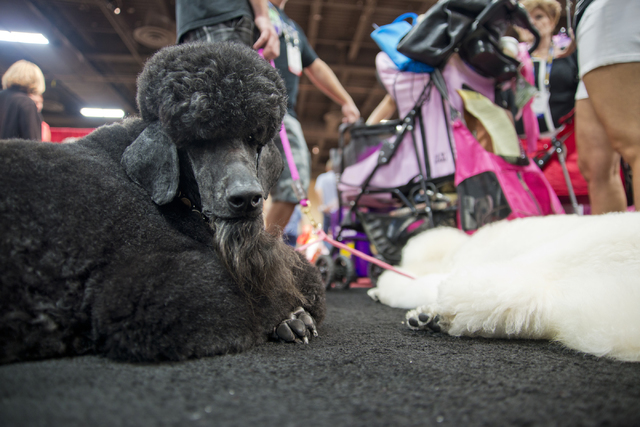 Two poodles take a rest during the SuperZoo Trade Show at the Mandalay Bay Convention Center on the Las Vegas Strip on Tuesday, Aug. 2, 2016. (Daniel Clark/Las Vegas Review-Journal) Follow @DanJCl ...