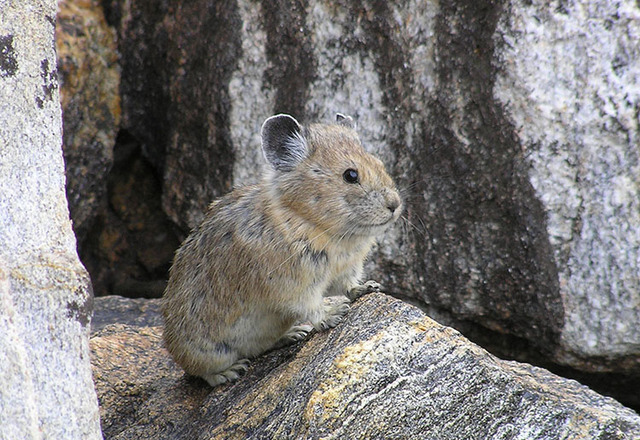 A new study shows populations of the American pika, a rabbit-like animal, are vanishing in many mountainous areas of the West as climate change alters habitat. (Shana S. Weber/USGS, Princeton Univ ...