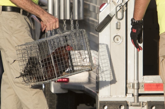 Officials are seen removing a bird in cage at a residence in the 4700 block of Stanley Avenue near Marion Drive in Las Vegas on Wednesday, Aug. 3, 2016, where Metro police served a search warrant  ...