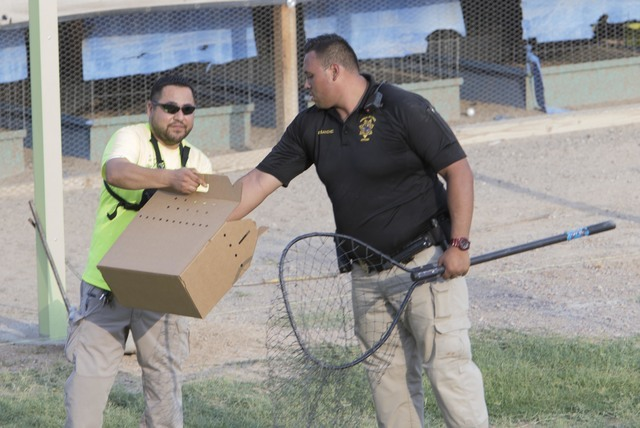 Officials put a captured bird in box at a residence in the 4700 block of Stanley Avenue near Marion Drive in Las Vegas on Wednesday, Aug. 3, 2016, where Metro police served a search warrant recove ...